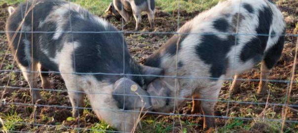 hegn-til-grise